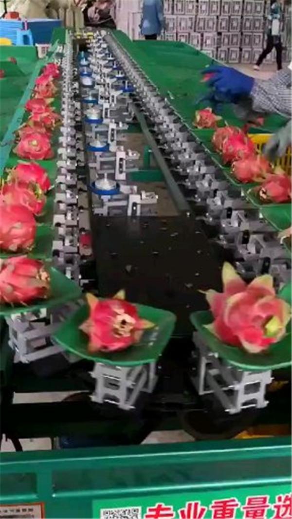 专业火龙果选果机 为水果分拣大小