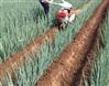 大蔥專用開溝機培土機