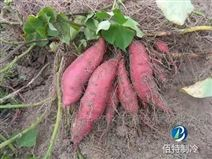 湖南貴州云南四川紅薯保鮮冷庫設計安裝