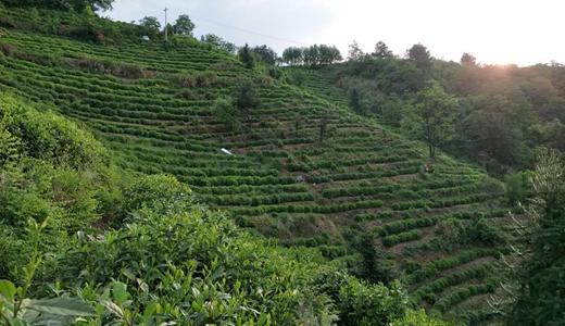 茶葉深加工樹品牌 帶動地方產業加速發展