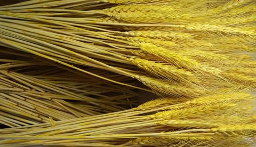 又是豐收年!食品機械提升糧食加工產業效益