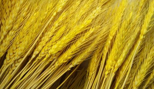 夏粮丰收 色选、磨粉等设备提升小麦制粉科技水平
